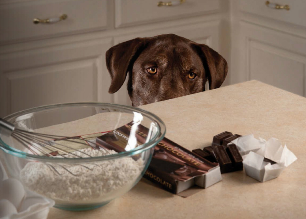 Chocolade honden giftig
