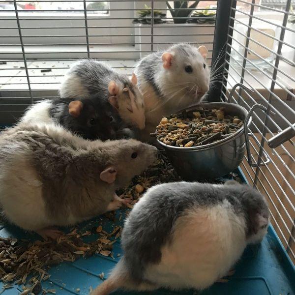 Tamme ratten 5 mannen 4 vrouwen