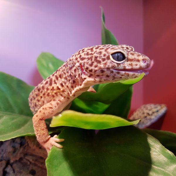 Darren - Luipaardgekko
